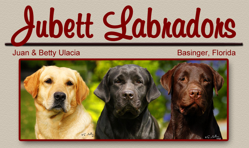 Jubett Labrador Retrievers Breeders in Florida, Black, Chocolate, Yellow, Labs, Labs, FL, litters, puppies, florida breeders, florida labradors, puppy, english labs, black, chocolate, yellow, miami, puppies, litter, english